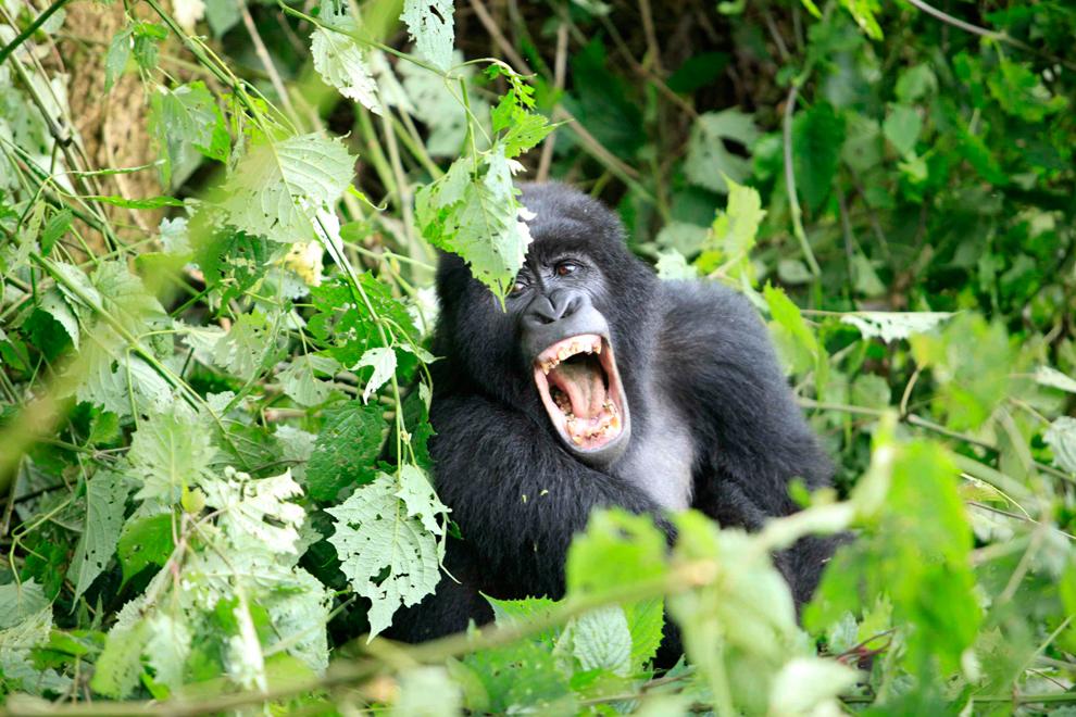 Một Con Gôrila Nhe Hàm Răng Trong Một Đợt Phát Quang Ở Công Viên Quốc Gia  Virunga, Gần Bunagana, Chdcnd Congo.
