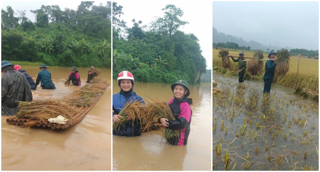 Công an huyện Quỳ Châu phối hợp các lực lượng giúp Nhân dân gặt  lúa bị ngã đổ do mưa bão ở xã Châu Bính